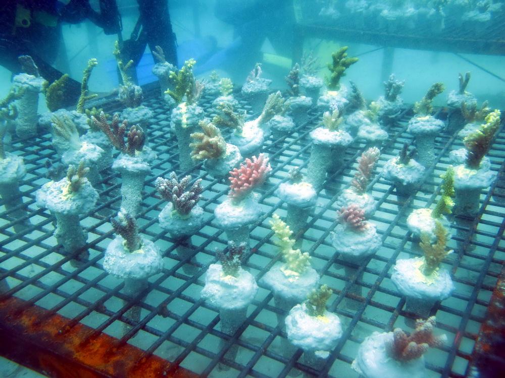 Coral Transpalant (Melestarikan Terumbu Karang)